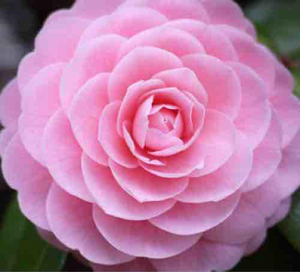 camellia_maiden