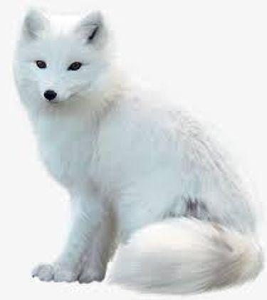 白狐。*🐺