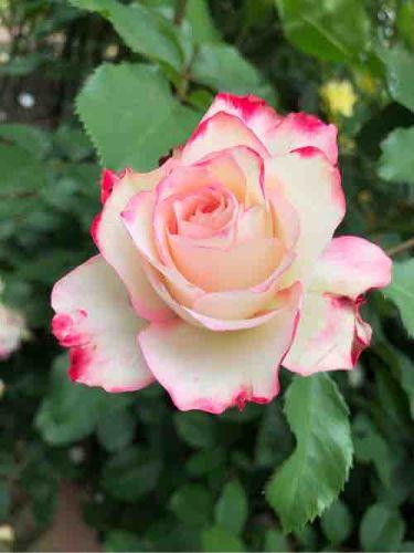 🌹薔薇姫🥀