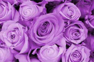 shion(紫苑)