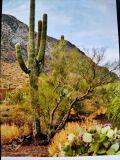 yuma cactus